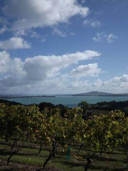 Vineyard on Waiheke Island